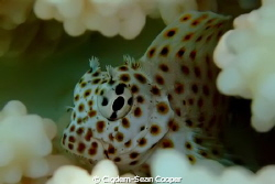 juvenile leopard blenny. by Cigdem-Sean Cooper 